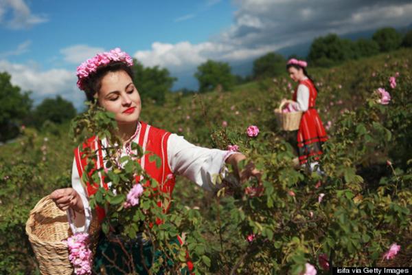 Để có được những đóa hồng cho lễ hội, các thiếu nữ phải đi hái hoa từ lúc bình minh