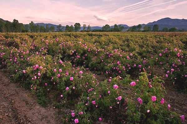 Thung lũng Hoa hồng trải dài tuyệt đẹp